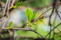 Vigne chinoise de magnolia dans le jardin Photos stock