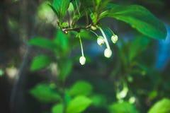 Vigne chinoise de magnolia dans le jardin Photographie stock libre de droits