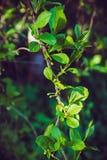 Vigne chinoise de magnolia dans le jardin Photo libre de droits