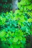 Vigne chinoise de magnolia dans le jardin Photographie stock