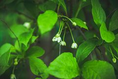 Vigne chinoise de magnolia dans le jardin Photo stock