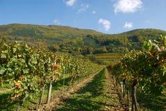 Vigne colorée en Autriche Photo libre de droits