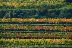 Vigne colorée en Autriche Images libres de droits