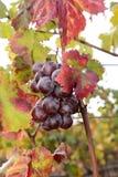 Vigne colorée Sunlit Photo libre de droits