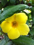 Vigne d'Allamanda Photos stock