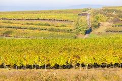 Vigne d'autunno Fotografie Stock Libere da Diritti