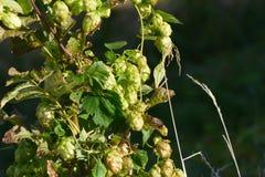 Vigne d'houblon sauvage photos libres de droits