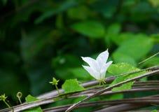 Vigne d'Ivy Gourd avec les fleurs blanches Image libre de droits