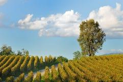 Vigne dans Franciacorta avant coucher du soleil Photographie stock libre de droits