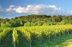 Vigne dans Franciacorta avant coucher du soleil Images libres de droits