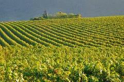 Vigne dans Franciacorta avant coucher du soleil Image libre de droits