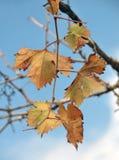 Vigne dans l'automne Photographie stock libre de droits