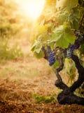 Vigne dans la moisson d'automne photos stock