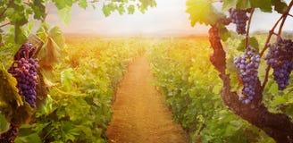 Vigne dans la moisson d'automne image libre de droits