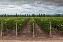 Vigne dans Mendoza Argentine photo stock