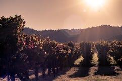 Vigne dans Napa Valley Image stock