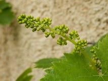 Vigne de bourgeonnement Image stock