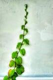 Vigne de canne Photographie stock libre de droits