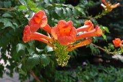 Vigne de colibri avec les fleurs oranges en été photo libre de droits