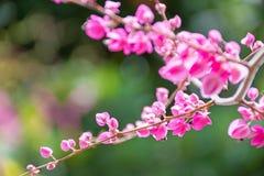 Vigne de corail rose ou plante grimpante ou chaîne mexicaine de l'amour fleurissant dedans photographie stock