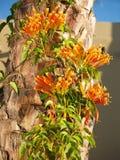 Vigne de flamme sur le palmier Photographie stock libre de droits