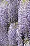 Vigne de floraison de glycines Images libres de droits
