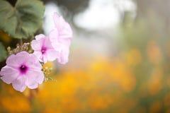 Vigne de floraison de gloire de matin Photo stock