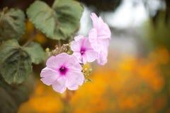 Vigne de floraison de gloire de matin Image libre de droits