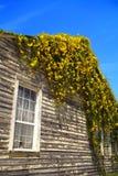Vigne de floraison sur la maison photos stock