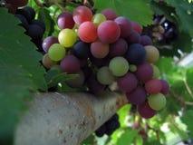 Vigne de Grap Image libre de droits