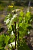 Vigne de Grap avec de jeunes leavs Images stock