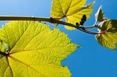 Vigne de kiwis. photographie stock libre de droits
