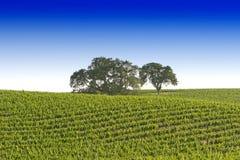 Vigne de la Californie Image stock