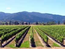 Vigne de la Nouvelle Zélande Photographie stock libre de droits