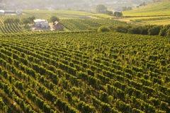 Vigne de Moravian dans le soleil de soirée Photos libres de droits