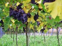 vigne de palatin de l'Allemagne photo libre de droits