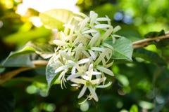 Vigne de papier sablé ou fleur de petrea image libre de droits