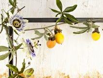 Vigne de passiflore comestible de passiflore avec des fleurs contre un mur texturisé Images libres de droits