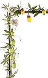 Vigne de passiflore comestible de passiflore avec des fleurs d'isolement sur le blanc Images stock