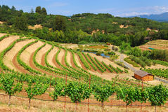 Vigne de Sonoma Image libre de droits