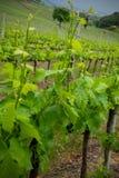 vigne de source Images libres de droits