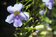 Vigne de trompette bleue Photographie stock libre de droits