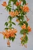 Vigne de trompette orange Images stock