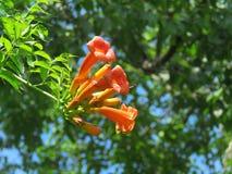 Vigne de trompette ou plante grimpante, fleurs oranges lumineuses Photographie stock