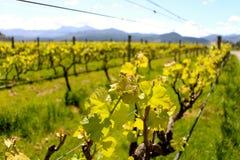 Vigne de vignoble du Nelson de pays de vin Nouvelle-Zélande Images stock