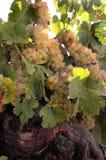 Vigne de vin blanc Images libres de droits
