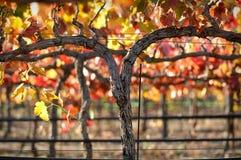 Vigne de vin rouge Photographie stock libre de droits
