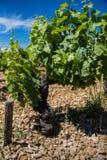 Vigne de vinification dans des Frances du sud ensoleillées avec le sol de gravier Images libres de droits