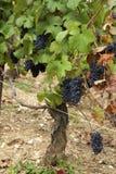 Vigne del champagne Fotografia Stock