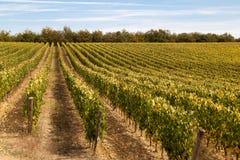 Vigne dell'uva di Sangiovese Fotografia Stock
